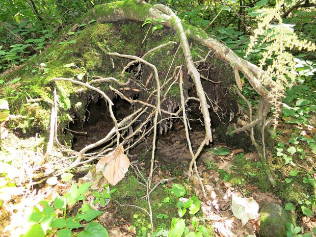 森林|鳥海山獅子ヶ鼻湿原 042