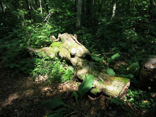 森林|鳥海山獅子ヶ鼻湿原 047