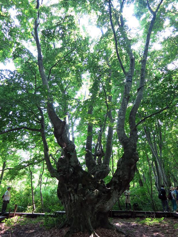 森林|鳥海山獅子ヶ鼻湿原 050