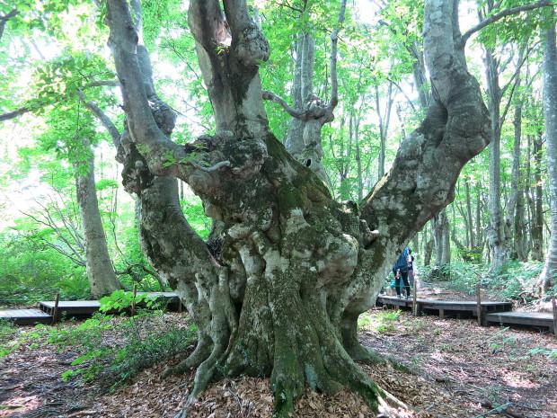 森林|鳥海山獅子ヶ鼻湿原 051