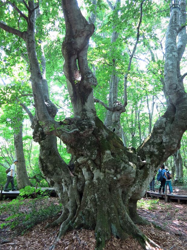 森林|鳥海山獅子ヶ鼻湿原 052
