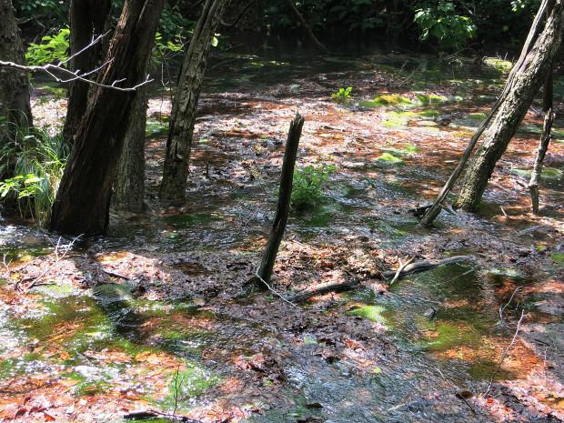 森林|鳥海山獅子ヶ鼻湿原 055