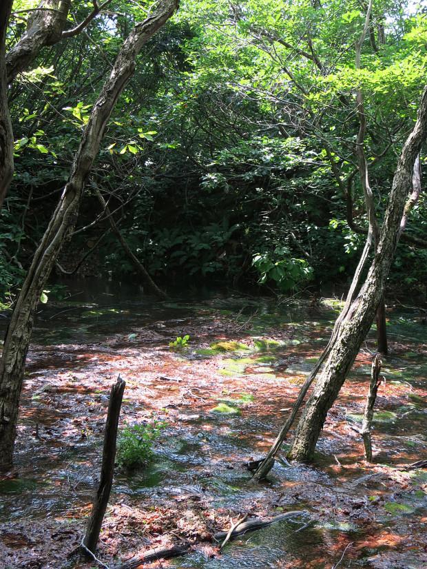 森林|鳥海山獅子ヶ鼻湿原 056