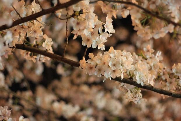 夜桜(目黒川花見)52
