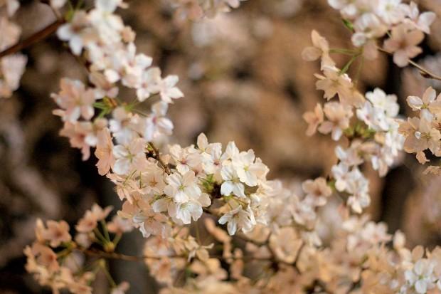 夜桜(目黒川花見)53