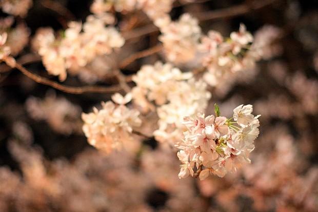 夜桜(目黒川花見)55