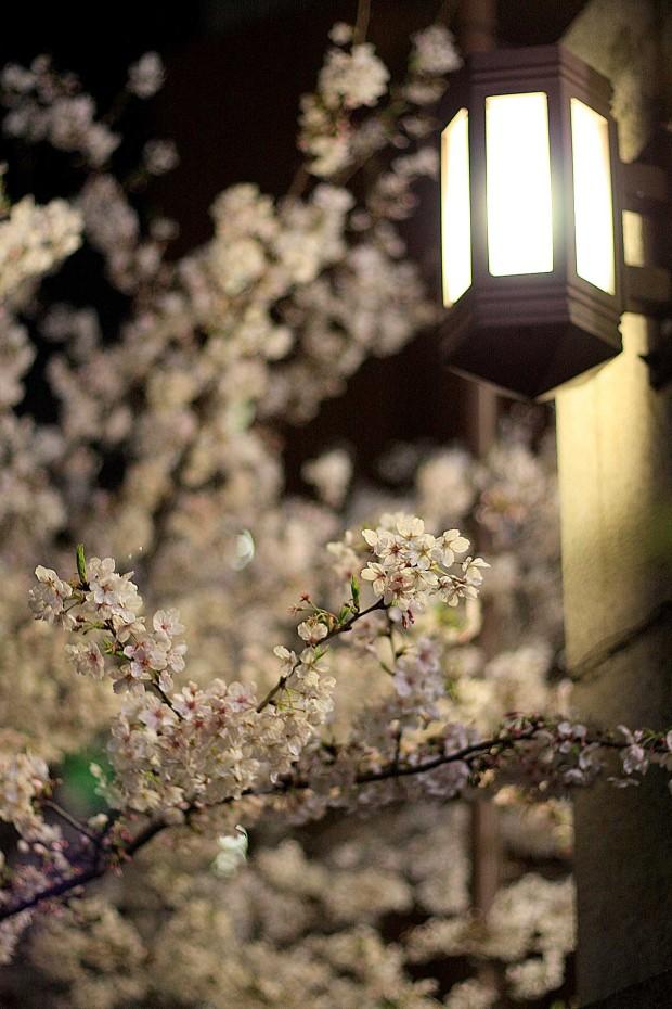 夜桜(目黒川花見)57