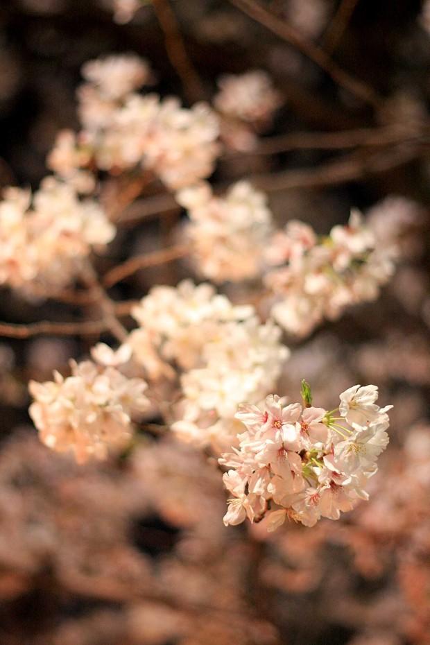 夜桜(目黒川花見)59
