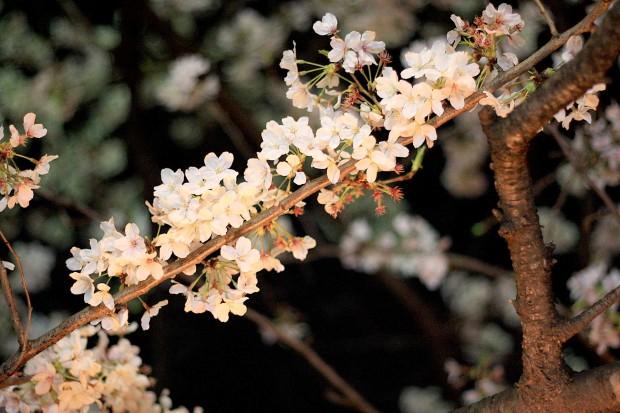 夜桜(目黒川花見)60