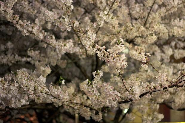 夜桜(目黒川花見)62