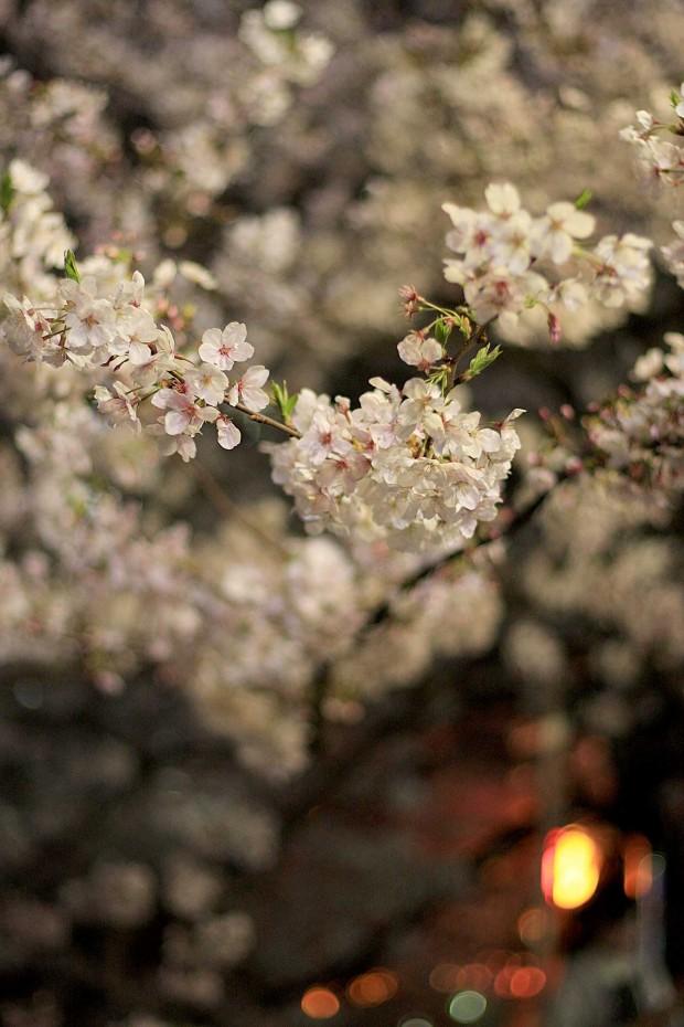 夜桜(目黒川花見)63