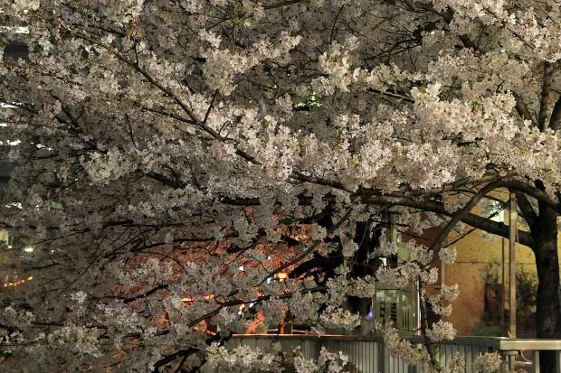 夜桜(目黒川花見)|全体の風景70