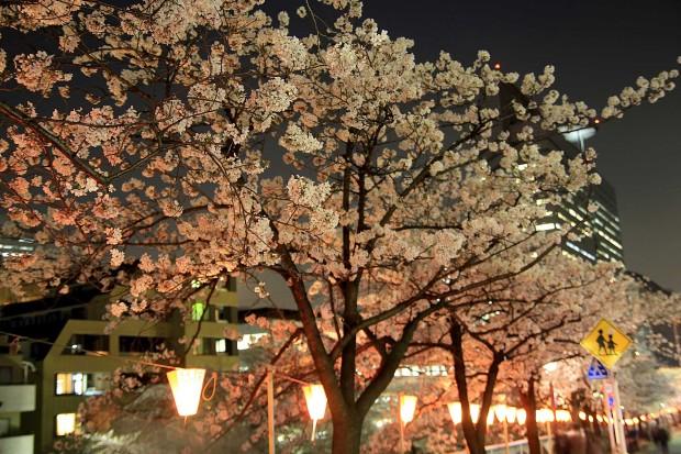 夜桜(目黒川花見) 桜の木全体72