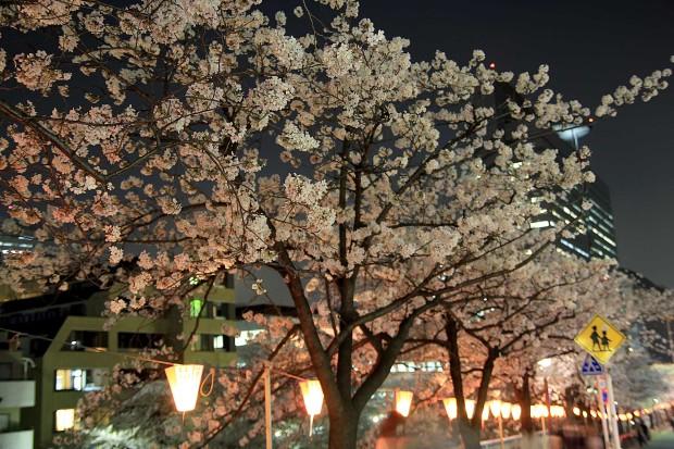 夜桜(目黒川花見)|桜の木全体73