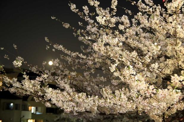 夜桜(目黒川花見)|桜の木全体74