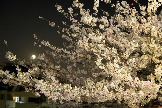 夜桜(目黒川花見) 桜の木全体75