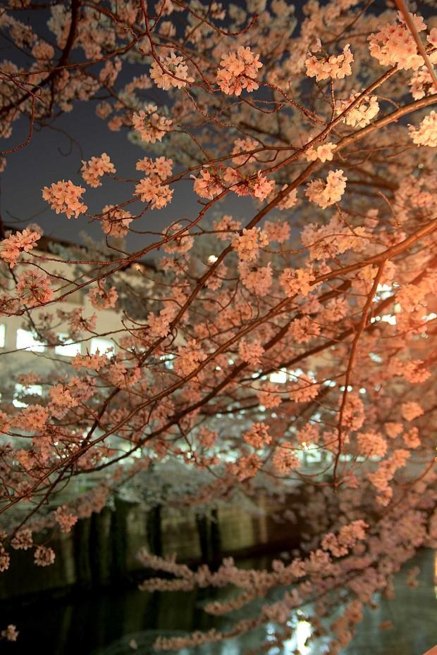 夜桜(目黒川花見)80