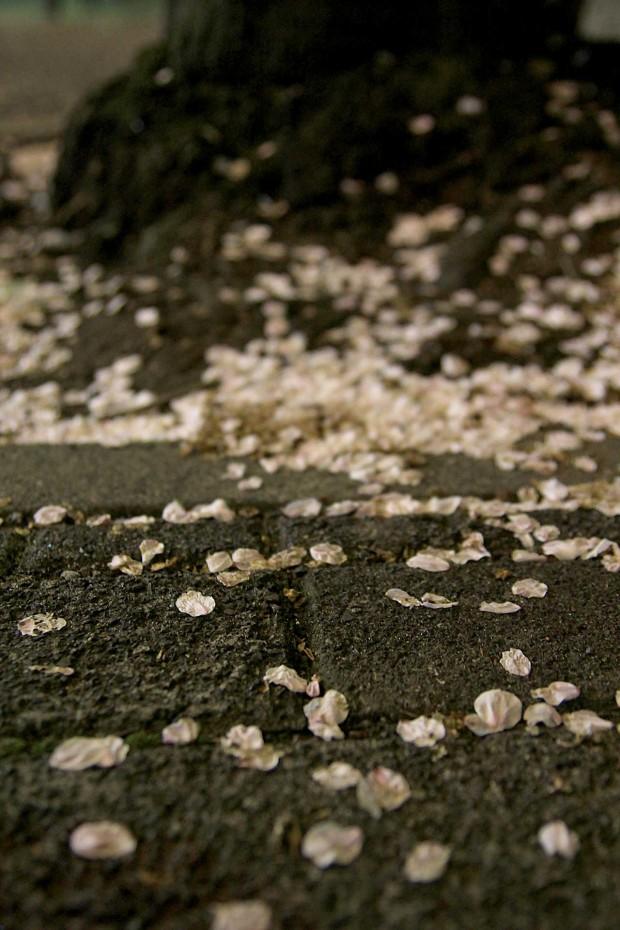 夜桜(目黒川花見) 桜の花びらが落ちる86