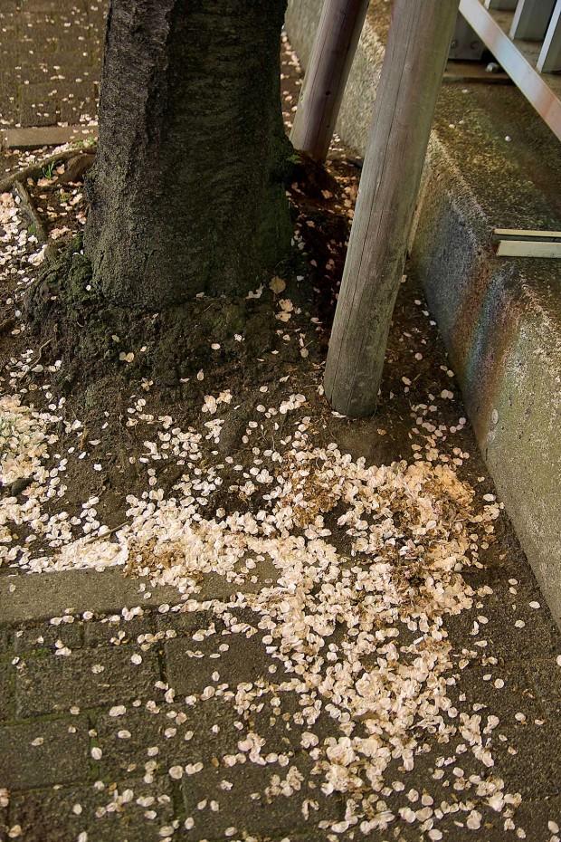 夜桜(目黒川花見)|桜の花びらが落ちる88