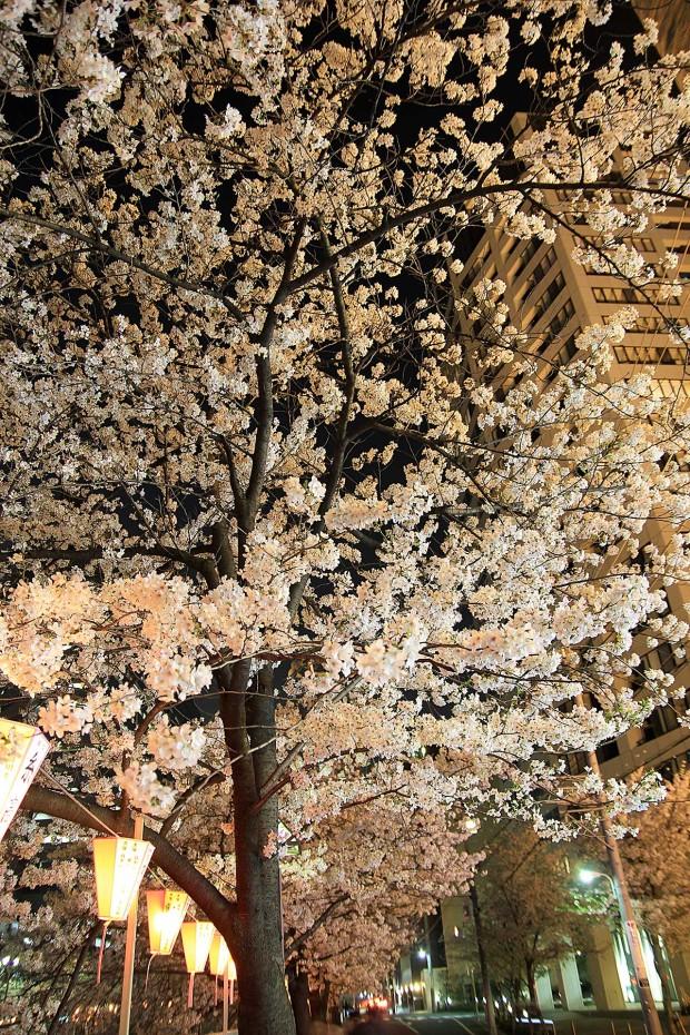 夜桜(目黒川花見)89