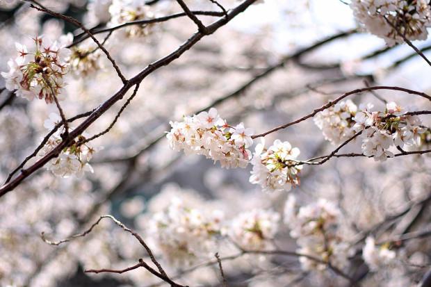 桜|短焦点001