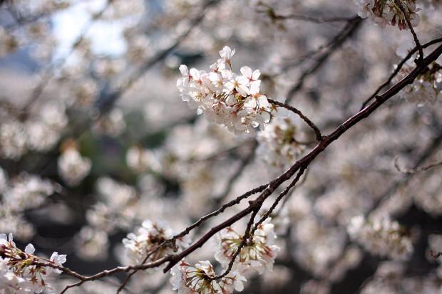 桜 短焦点002