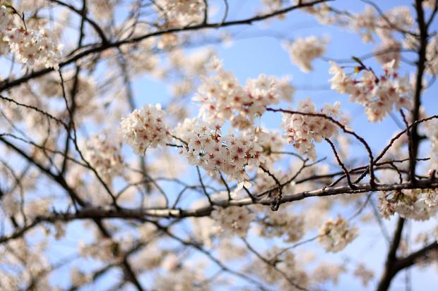 桜|短焦点003