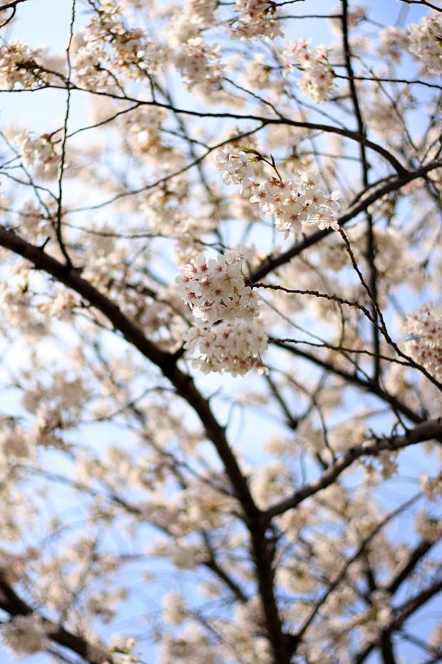 桜|短焦点004