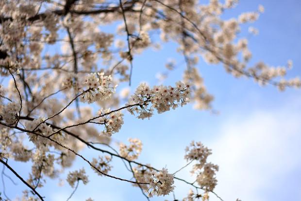 桜|短焦点005