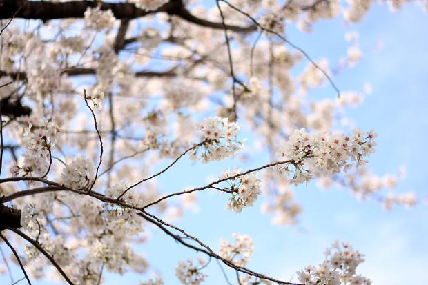 桜|短焦点006