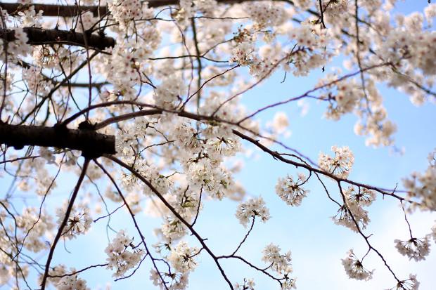 桜 短焦点007