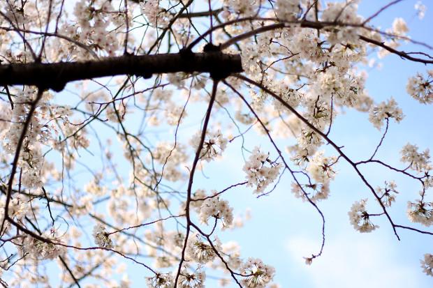 桜 短焦点008