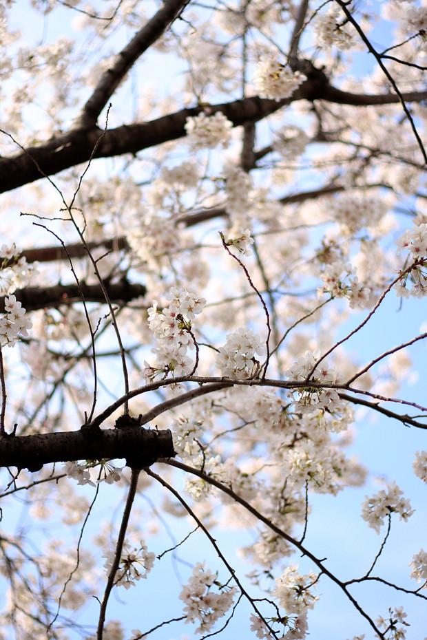 桜|短焦点010