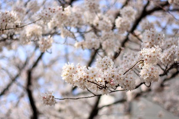 桜 短焦点011