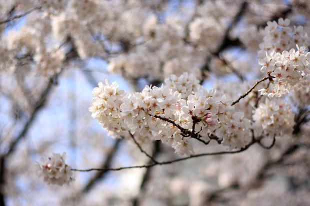 桜|短焦点012