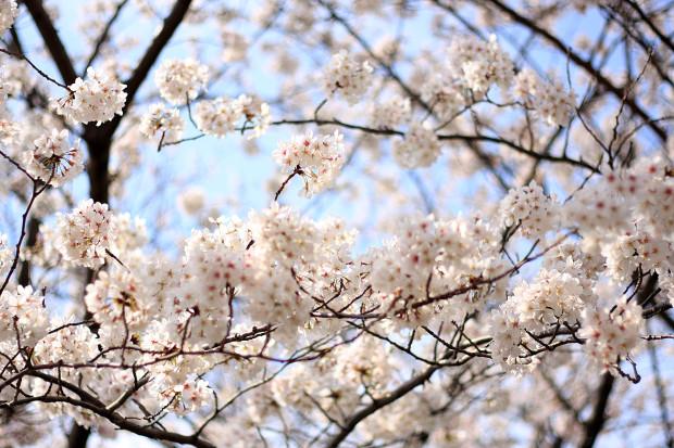 桜|短焦点013