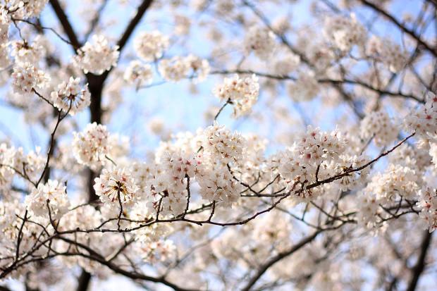 桜|短焦点014