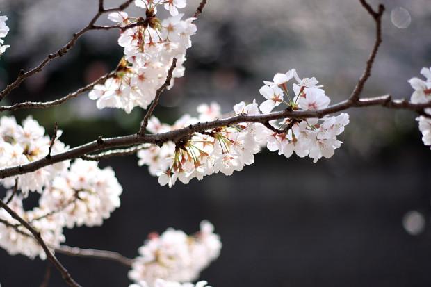 桜|短焦点016