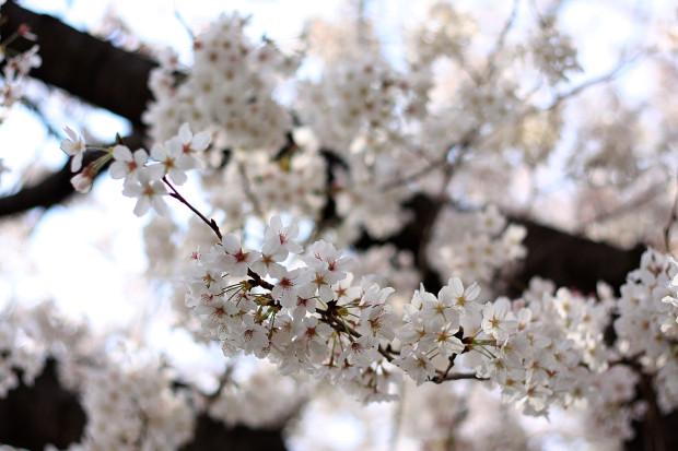 桜|短焦点017