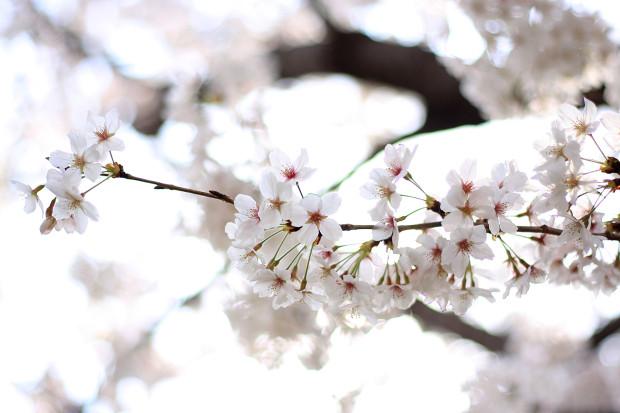 桜|短焦点018
