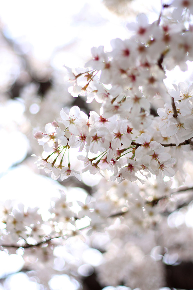 桜|短焦点019