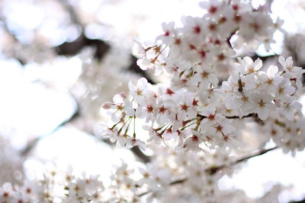 桜|短焦点021