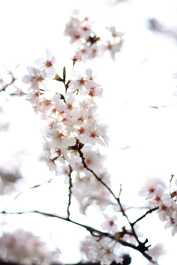 桜|短焦点022
