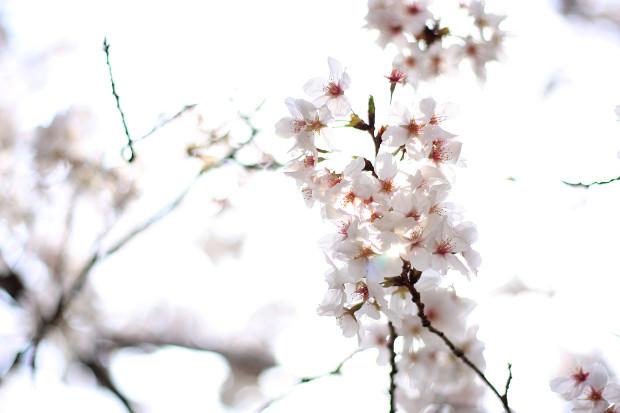 桜|短焦点023