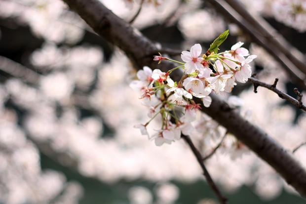 桜|短焦点024