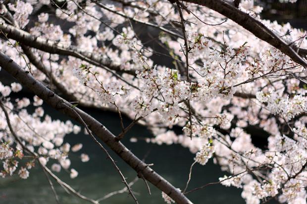 桜|短焦点025