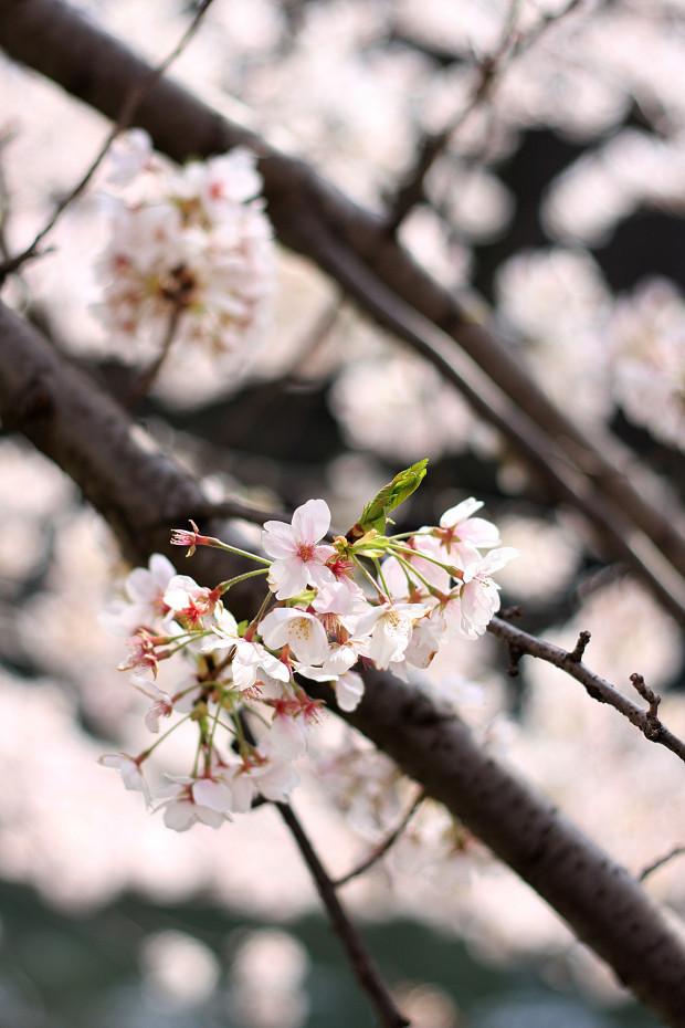 桜|短焦点026