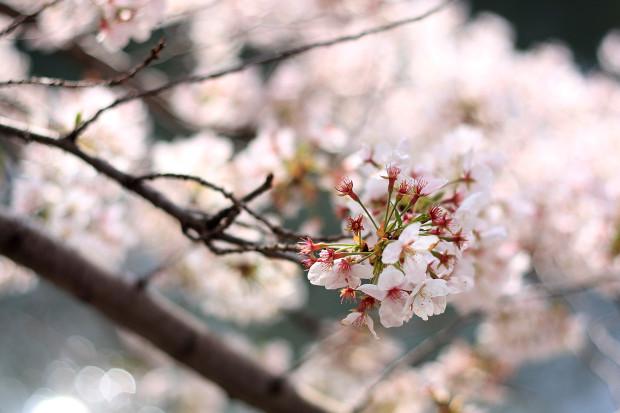桜|短焦点027