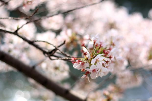 桜|短焦点028