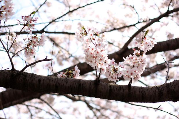 桜|短焦点029